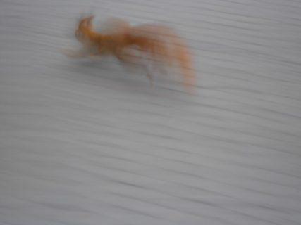 Eekhoorn, bewogen foto, ONscherpe foto's
