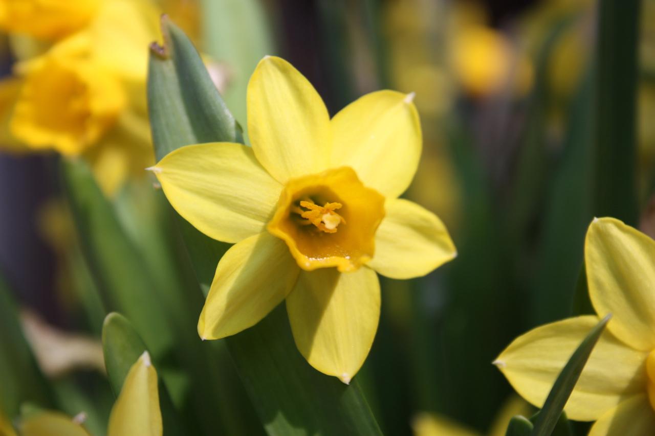 Gele narcis in de lente Fotograferen in de lente